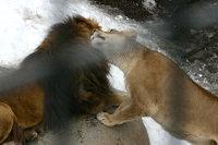 Lions02