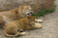 Lions06