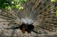 Peacock02