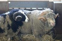 Sheep_merino