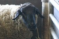 Sheep_suffolk