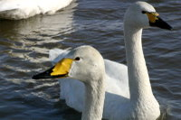 Swan07
