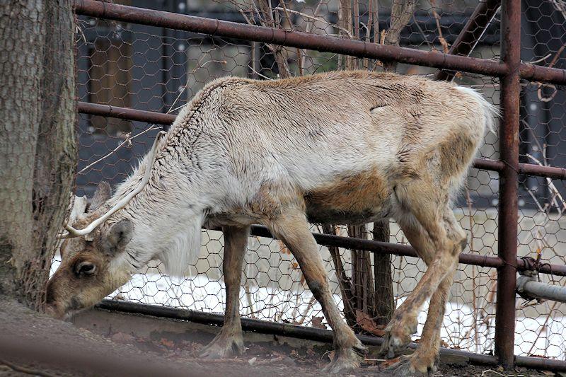 Caribou64