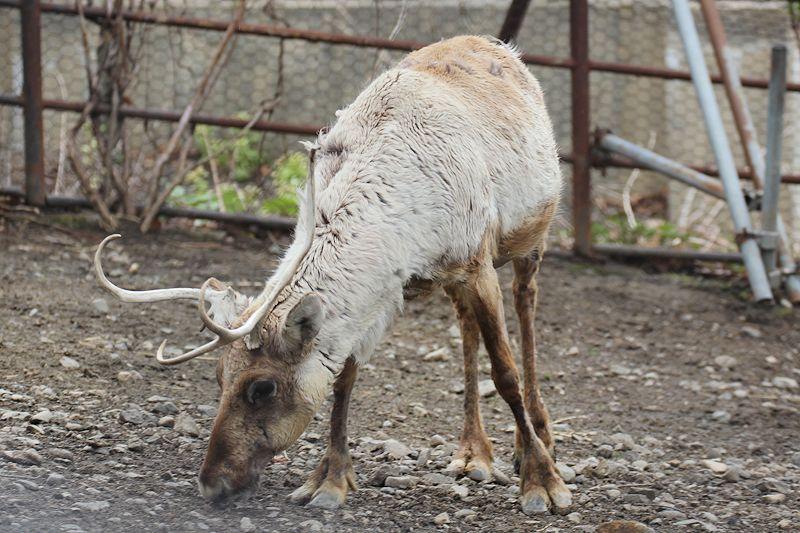 Caribou65