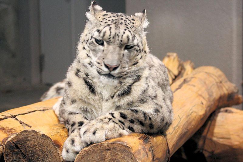 Snowleopard_m15