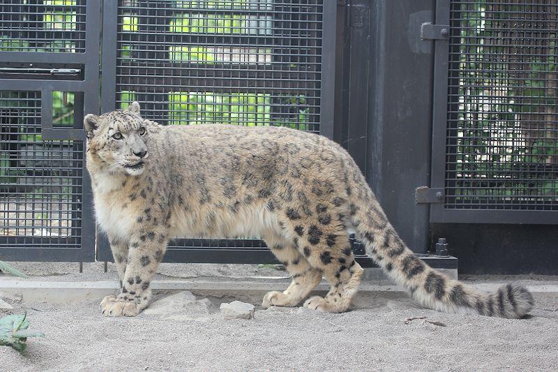 Snowleopard_m16